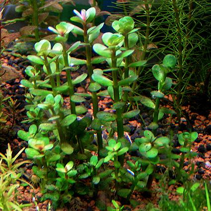 Ammania Bonsai Rotala Indica